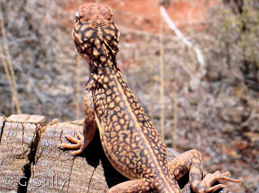 Central Netted Dragon (Ctenophorus nuchalis) at Uluru