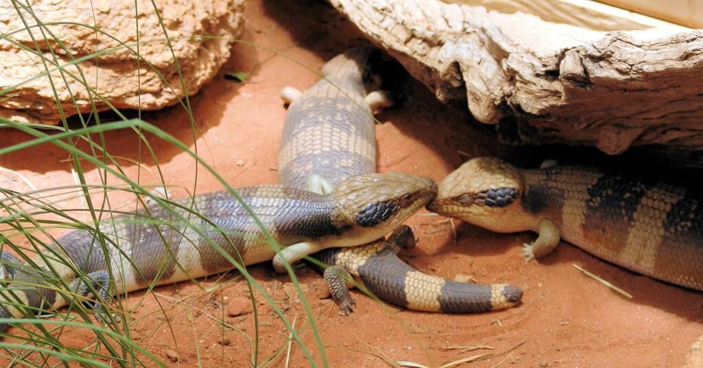 Centralian Blue Tongue Lizards (Tiliqua multifasciata), Alice Springs Reptile Centre