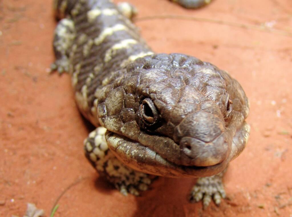 Centralian Blue Tongue Lizard (Tiliqua multifasciata), Alice Springs Reptile Centre