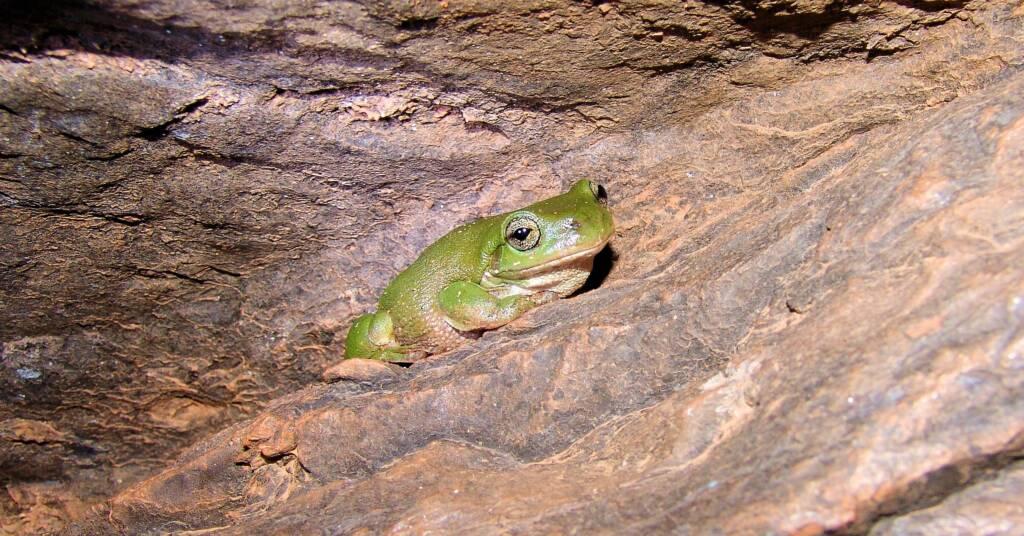 Centralian Tree Frog (Litoria gilleni)