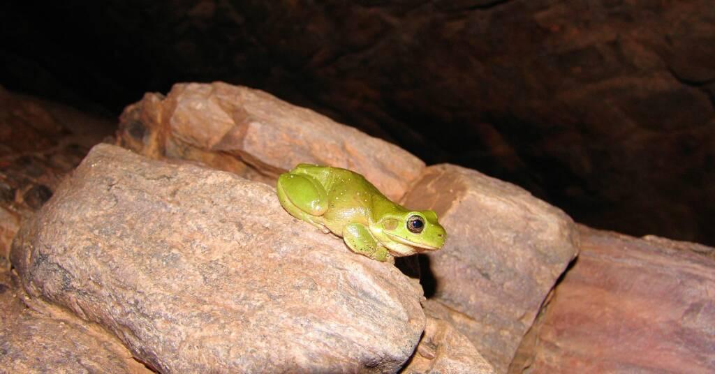 Centralian Tree Frog (Litoria gilleni), Central Australia