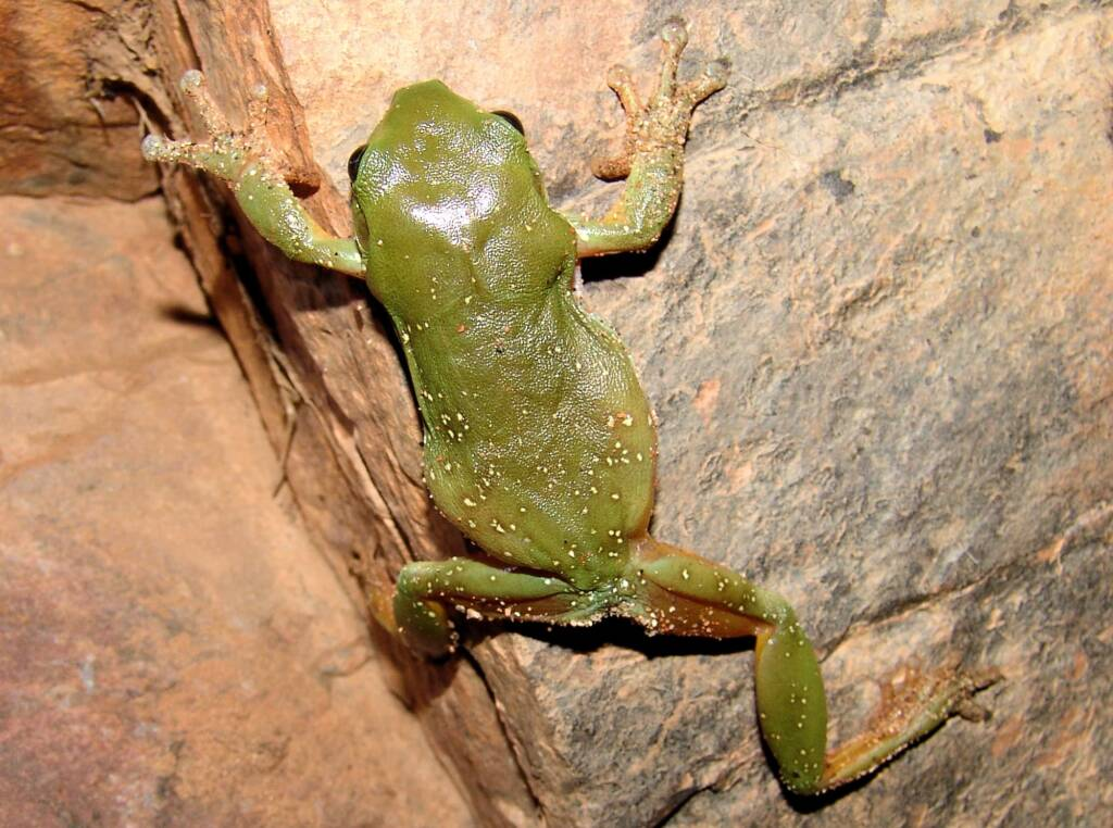 Centralian Tree Frog (Ranoidea gilleni, formerly Litoria gilleni) at Simpsons Gap, West MacDonnell Ranges, NT.