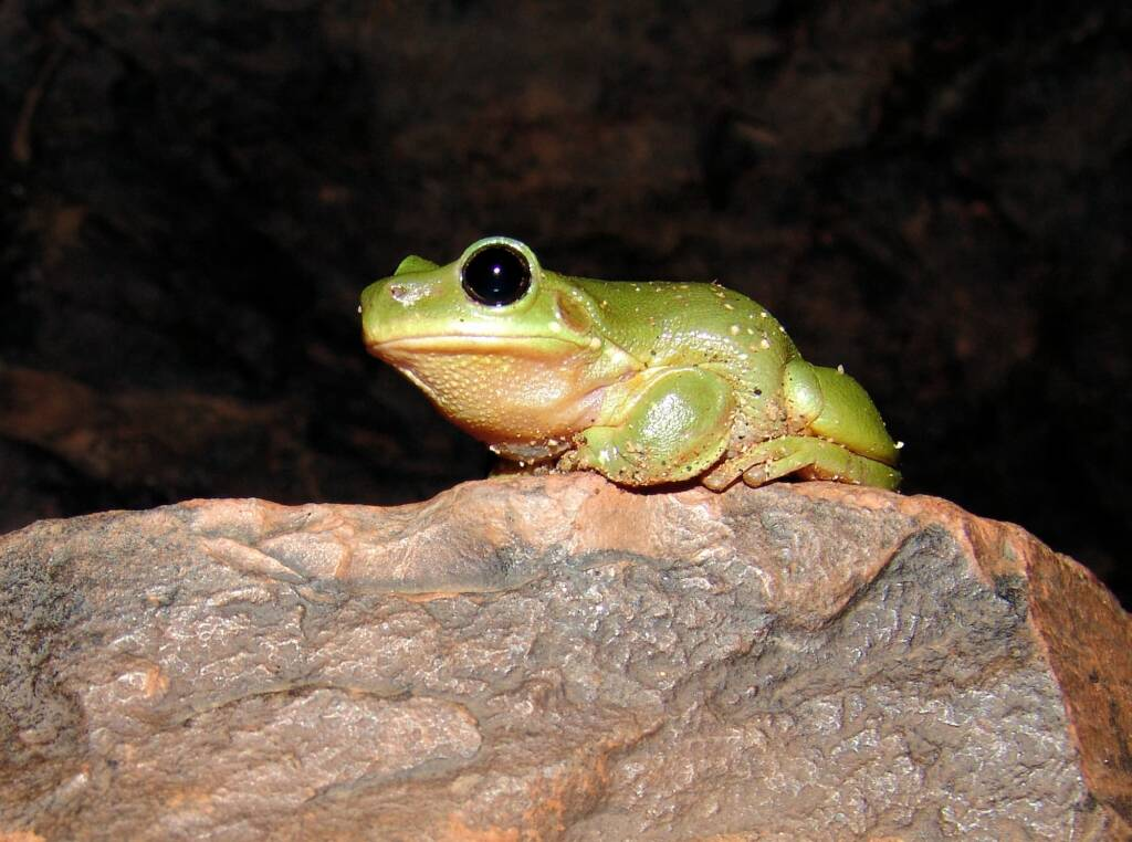 Centralian Tree Frog (Litoria gilleni) at Simpsons Gap, West MacDonnell Ranges, NT.