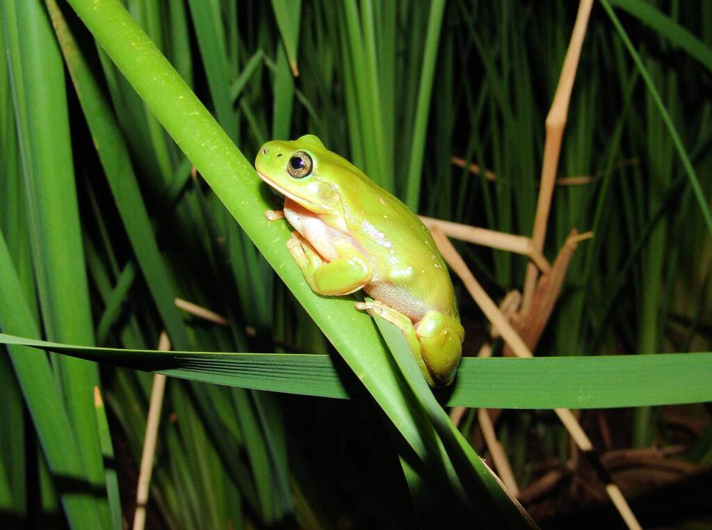 Centralian Tree Frog (Ranoidea gilleni, formerly Litoria gilleni), Simpsons Gap, West MacDonnell Ranges, NT