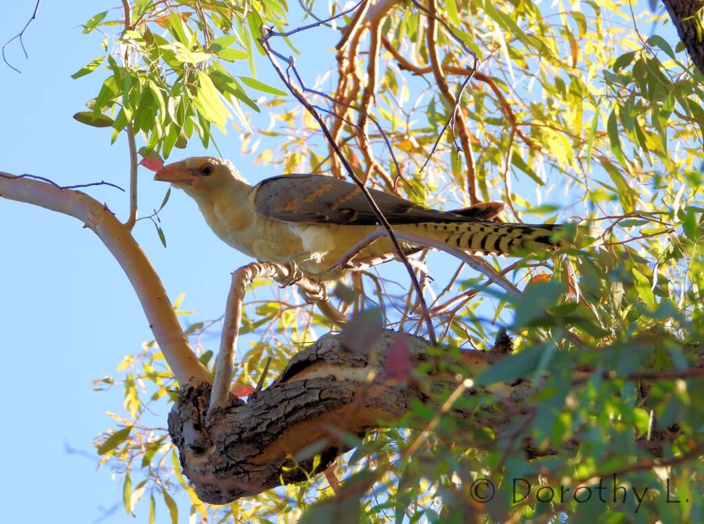 Channel-billed Cuckoo (Scythrops novaehollandiae)