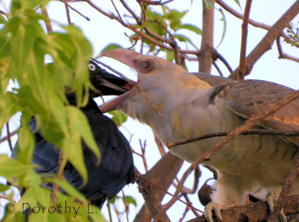 Channel-billed Cuckoo being fed by Torresian Crow