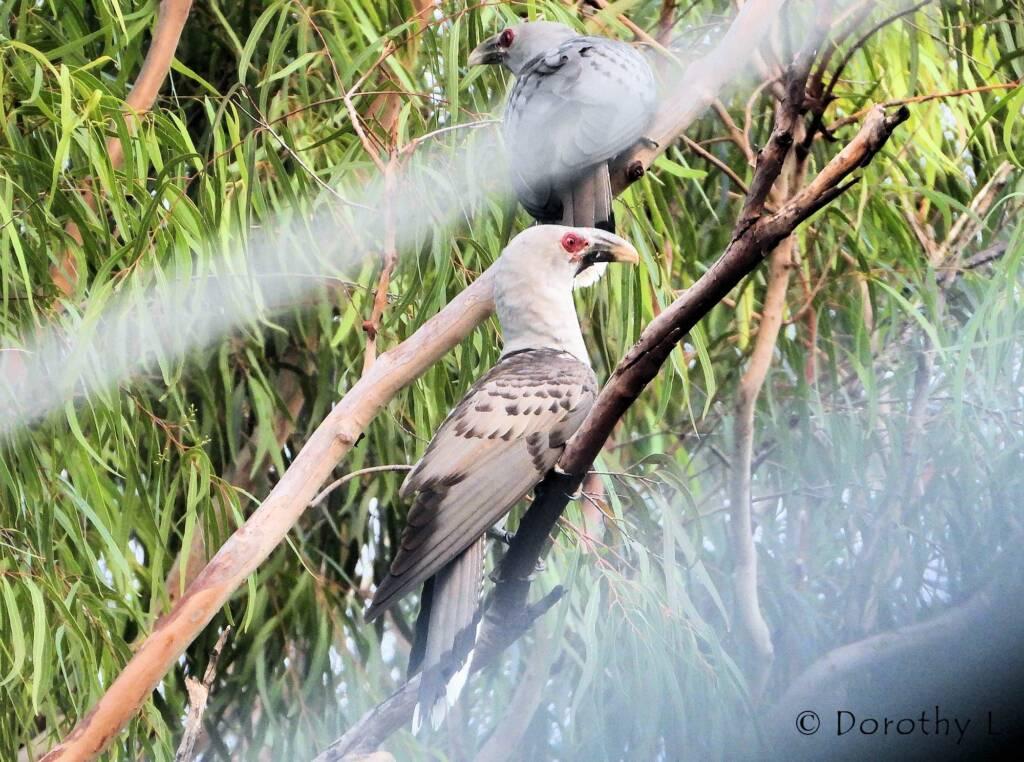 Parent Channel-billed Cuckoos