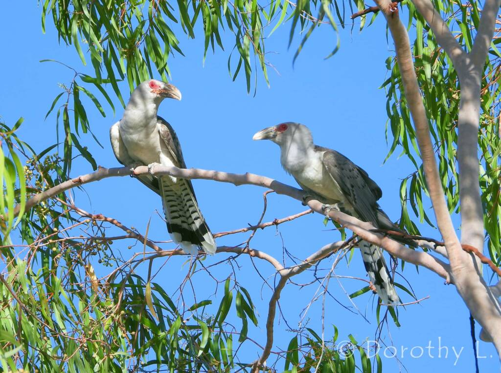 Adult Channel-billed Cuckoos