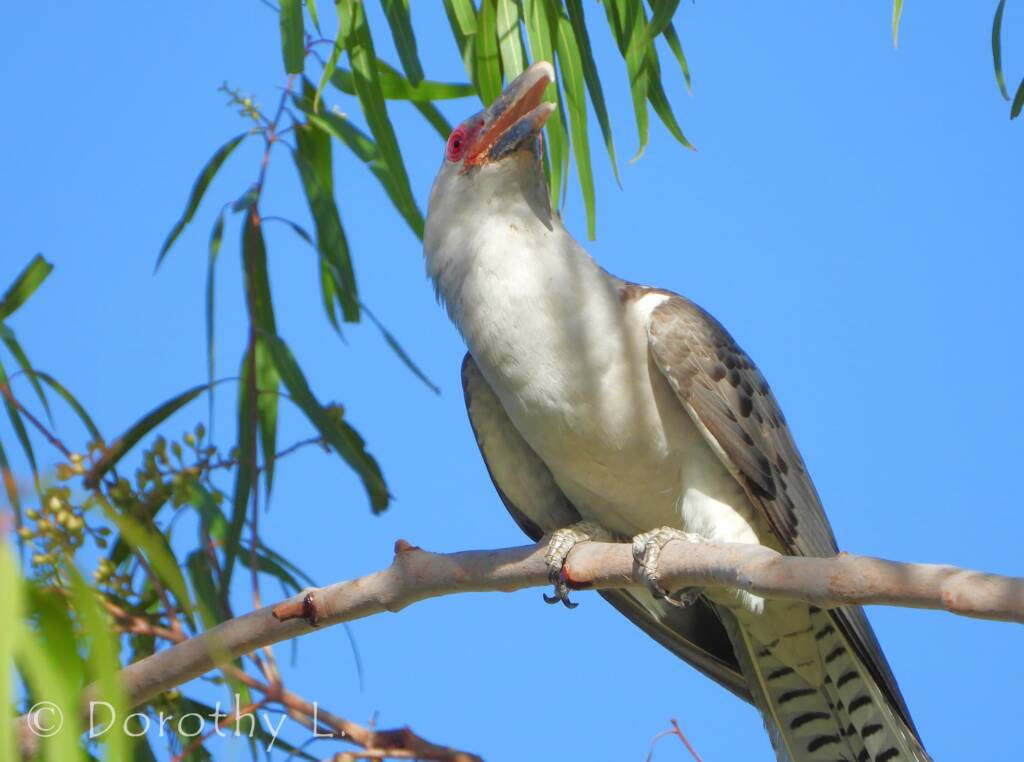 Adult Channel-billed Cuckoo