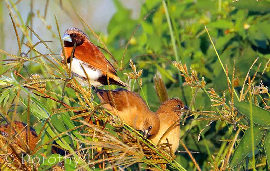 Chestnut-breasted Mannikin (Lonchura castaneothorax)