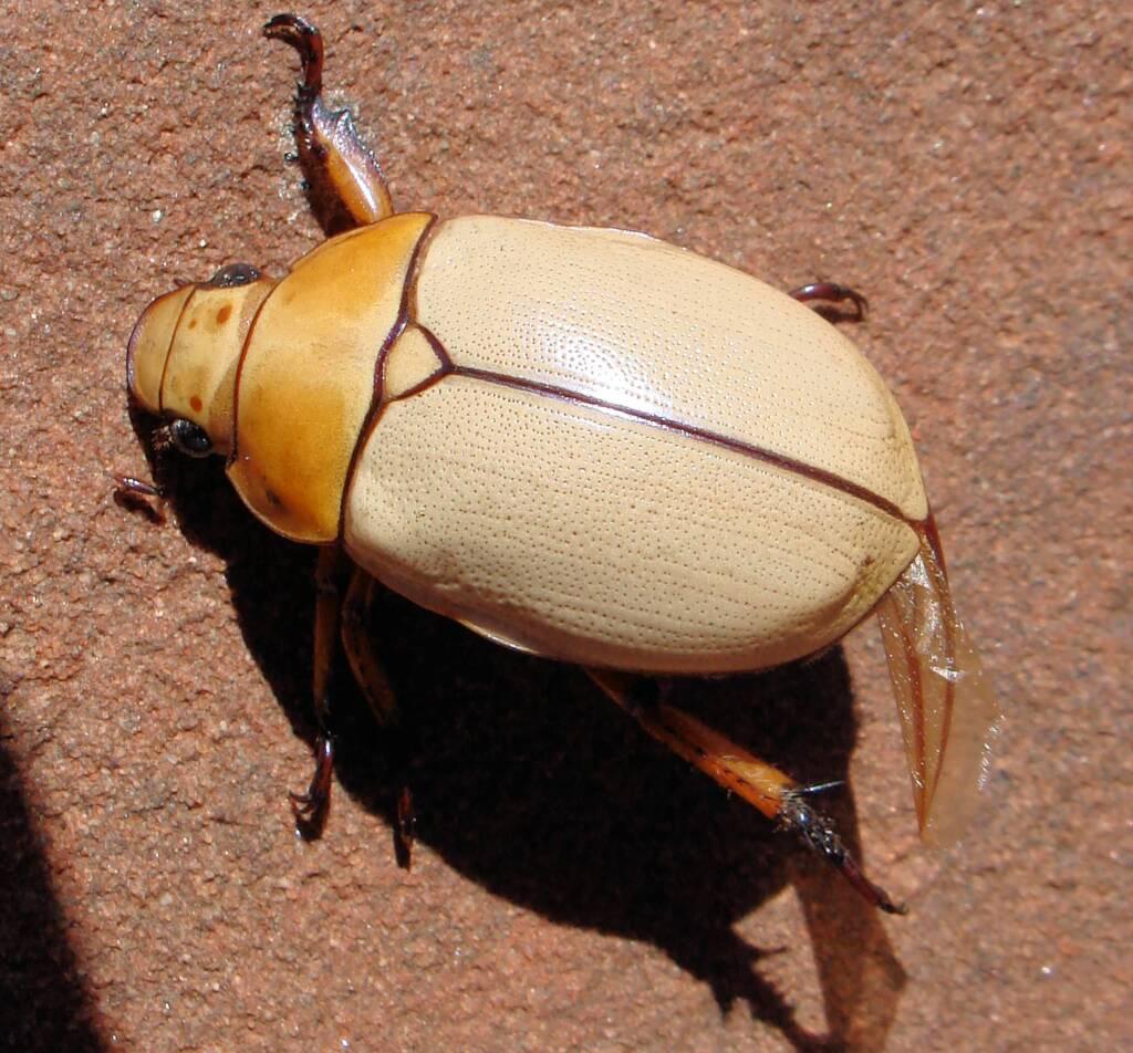 Christmas Beetle (Anoplognathus macleayi)
