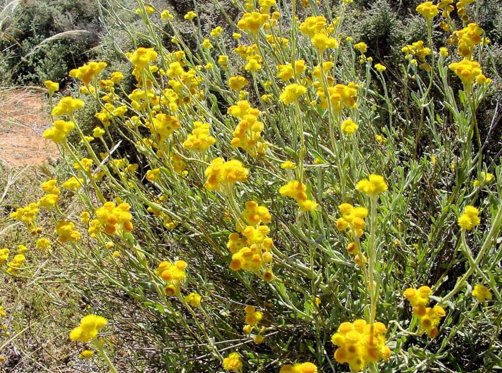 Common Everlasting (Chrysocephalum apiculatum), Australian Arid Lands Botanic Garden