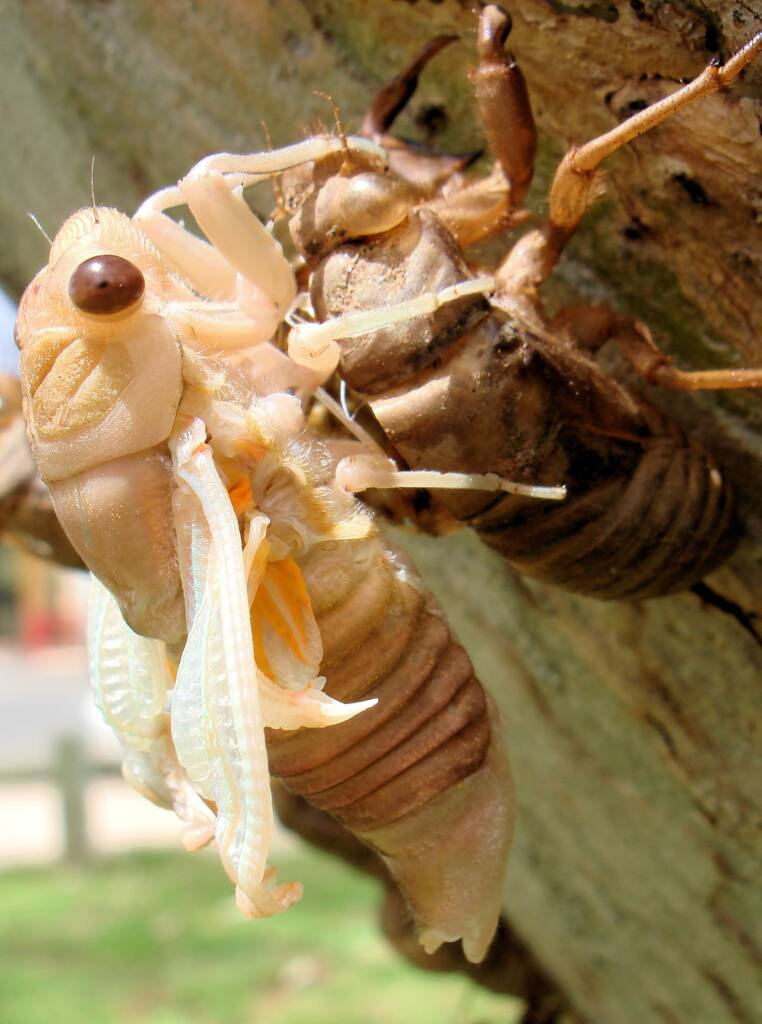 Newly emerged cicada from nymph skin