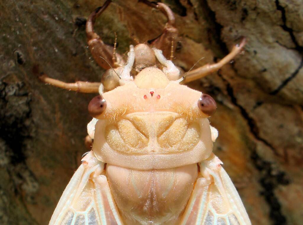 Closeup of newly emerged cicada from nymph skin