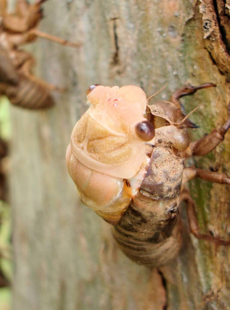 Adult cicada emerging from nymph skin