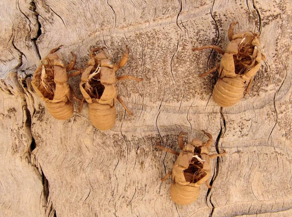 Cicada nymph shell casing, Ormiston Gorge, NT