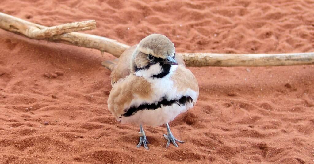 Cinnamon Quail Thrush (Cinclosoma cinnamomeum), Alice Springs Desert Park