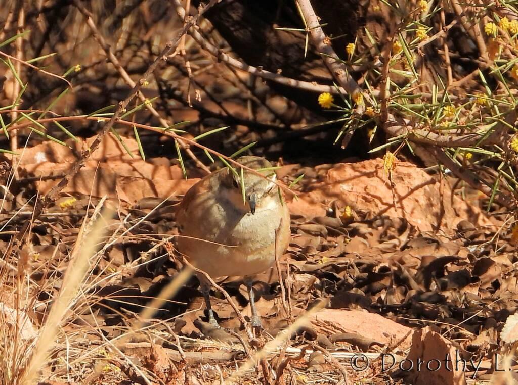 Female Cinnamon Quail-thrush (Cinclosoma cinnamomeum), Central Australia