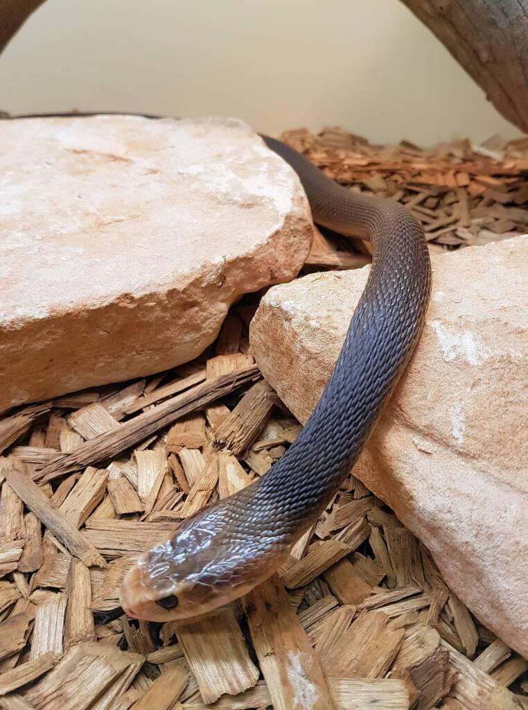 Coastal Taipan (Oxyuranus scutellatus), Alice Springs Reptile Centre