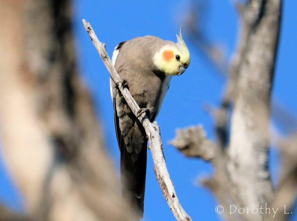 Cockatiel (Nymphicus hollandicus)