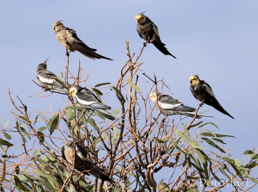 Cockatiels (Nymphicus hollandicus)