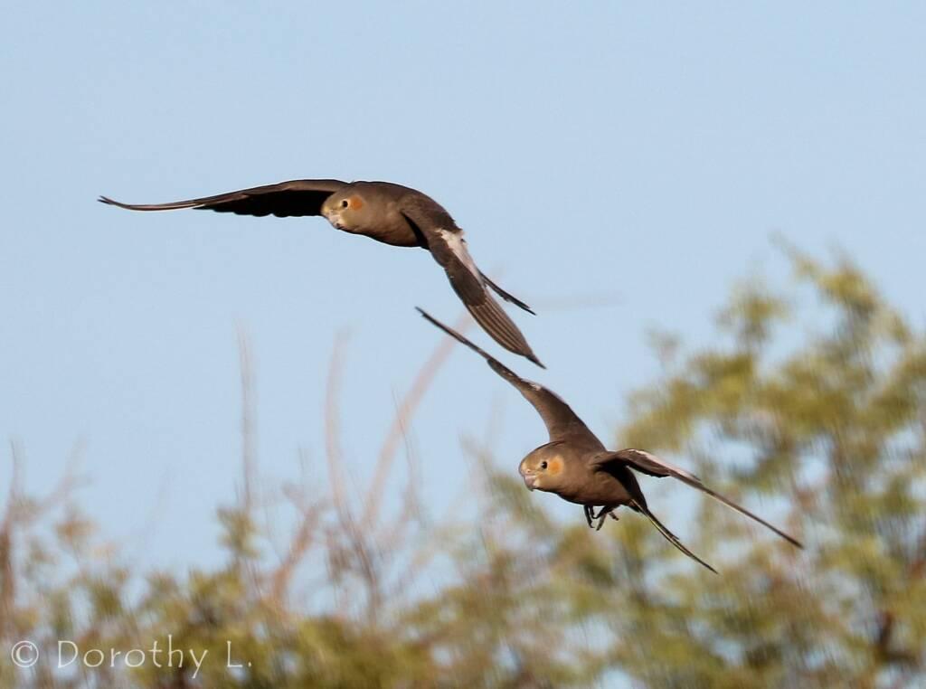 Cockatiels (Nymphicus hollandicus) in flight