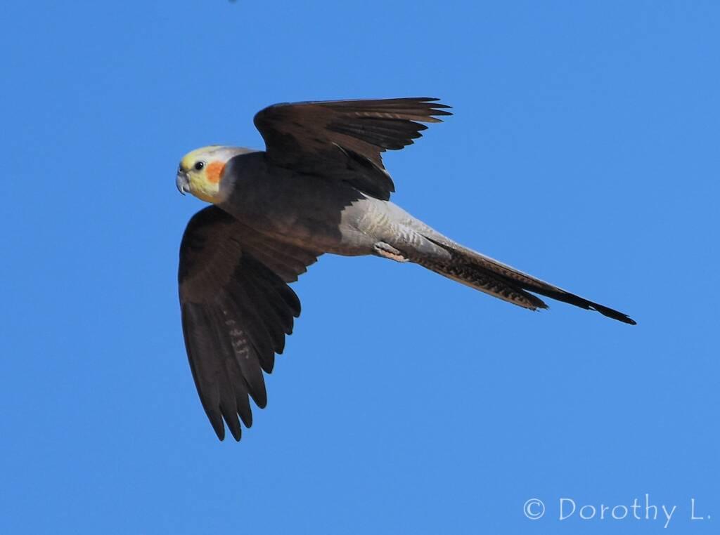 Cockatiel (Nymphicus hollandicus) in flight