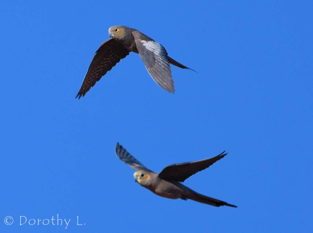Cockatiels (Nymphicus hollandicus) in flight, Kunoth Bore, NT