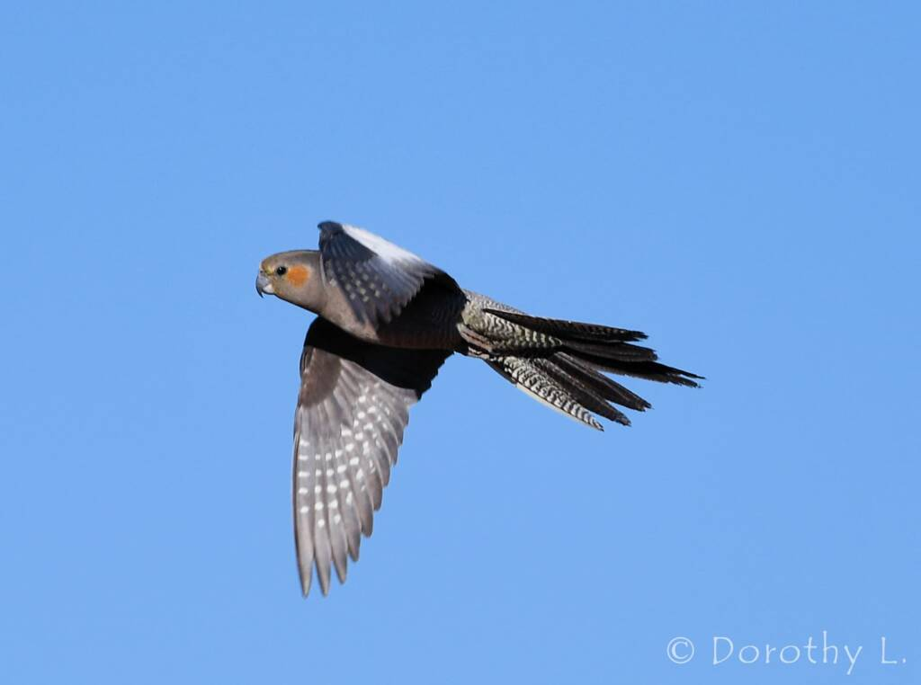 Cockatiel (Nymphicus hollandicus) in flight, Kunoth Bore, NT