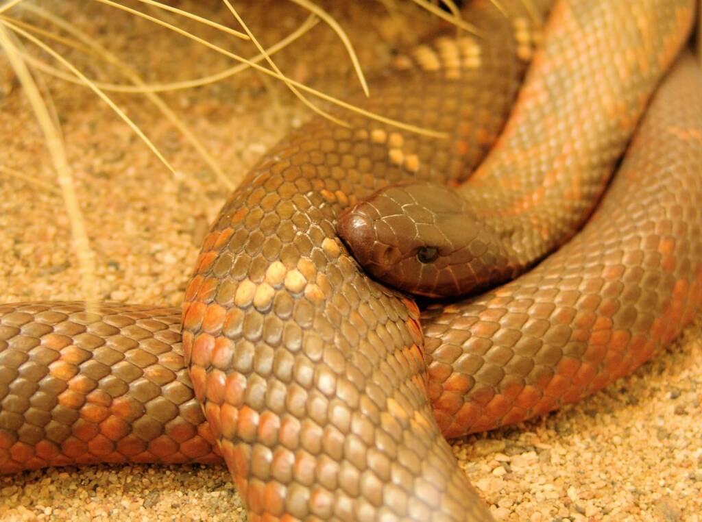 Collett's Snake (Pseudechis colletti), Alice Springs Reptile Centre