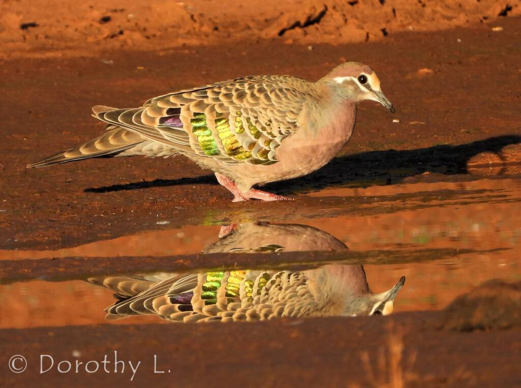 Common Bronzewing (Phaps chalcoptera), Central Australia