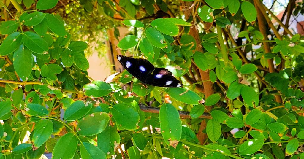 Common Eggfly Butterfly (Hypolimnas bolina)