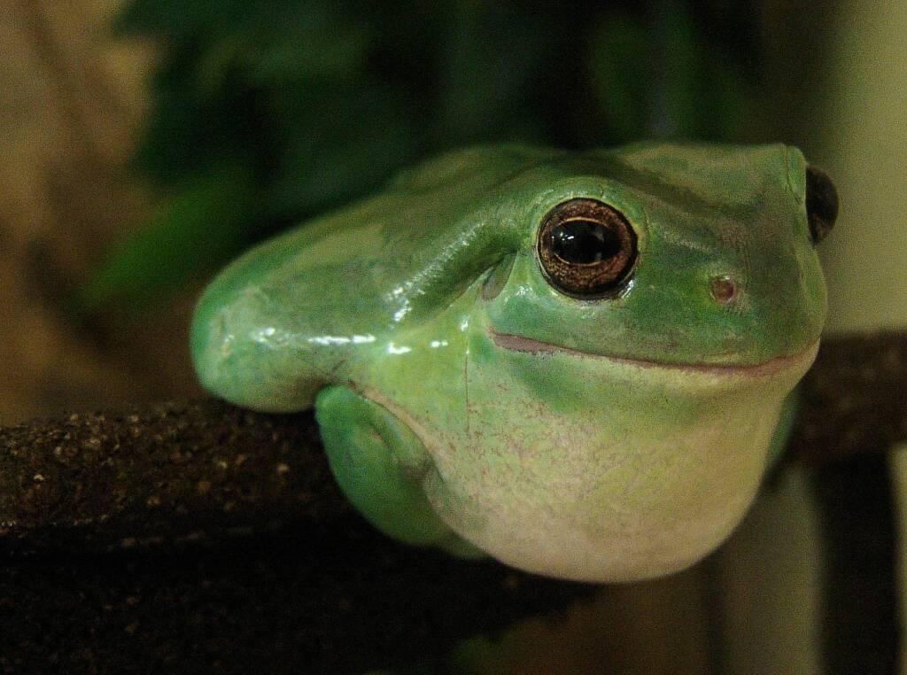 Common Green Tree Frog (Ranoidea caerulea), Alice Springs Reptile Centre