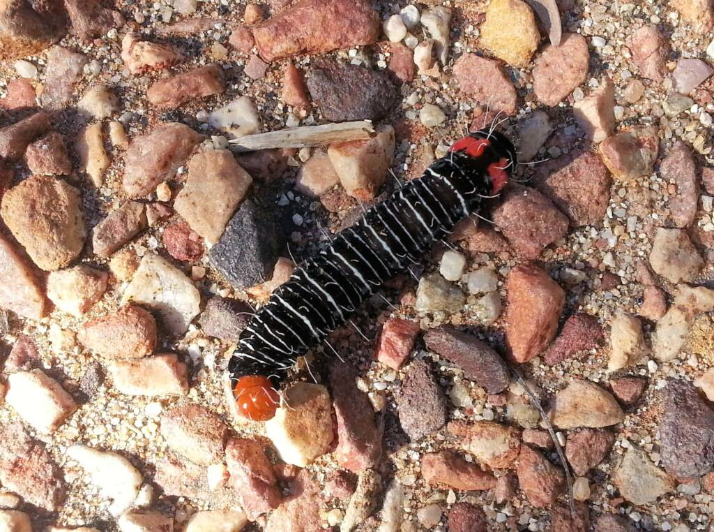 Comocrus behri - caterpillar of the Day Flying Moth