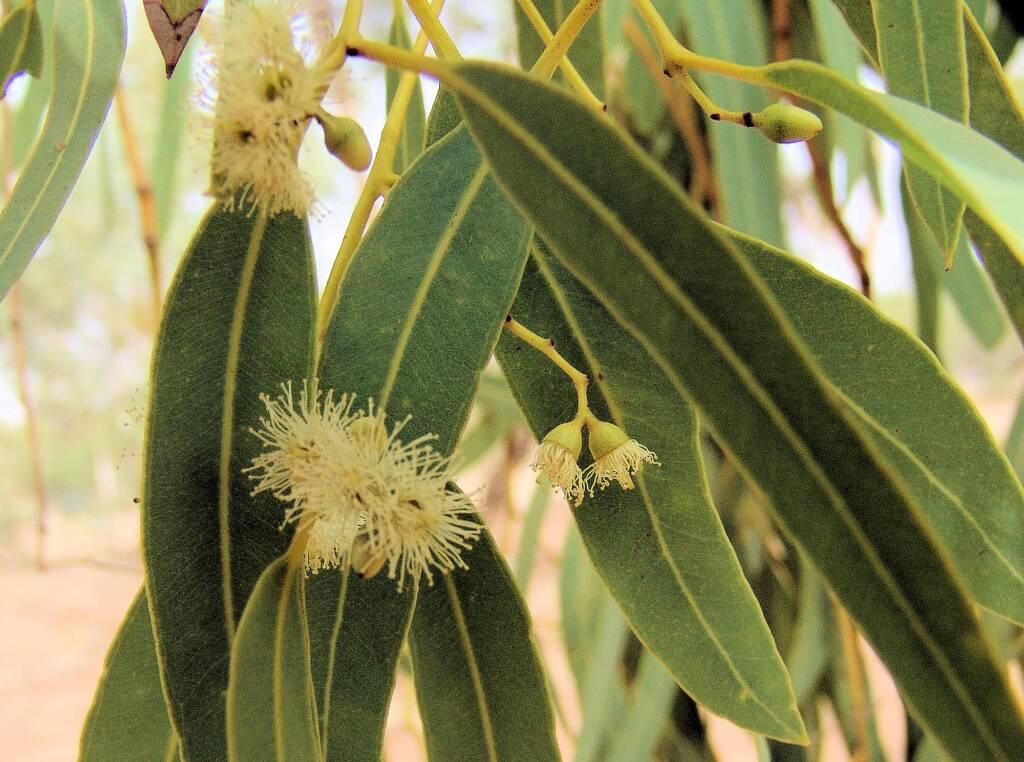 Coolabah (Eucalyptus coolabah), Olive Pink Botanic Garden