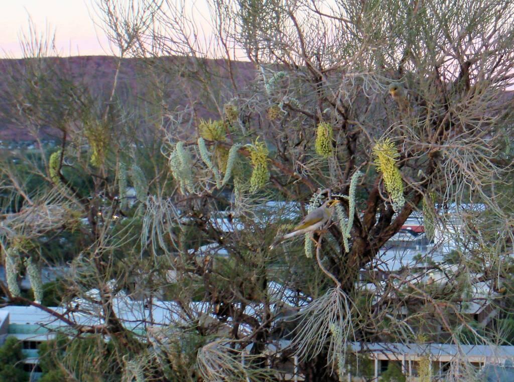 Corkwood on Untyeyetwelye - ANZAC Hill, Alice Springs, NT