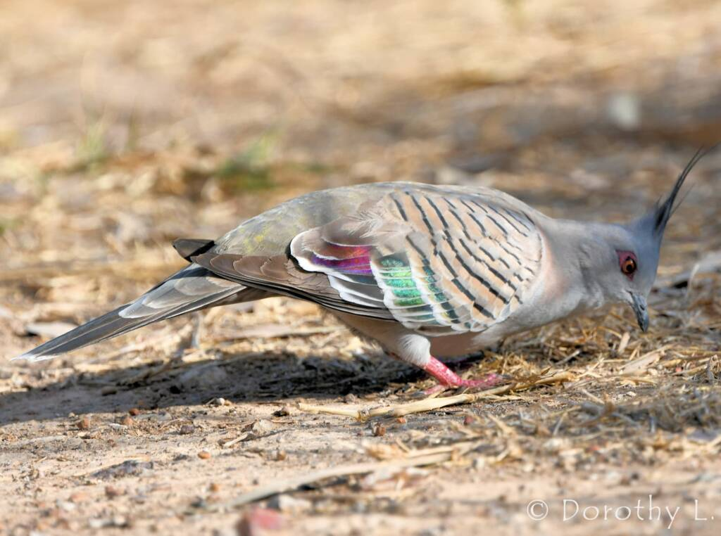 Crested Pigeon (Ocyphaps lophotes), sth of Larrimah, NT