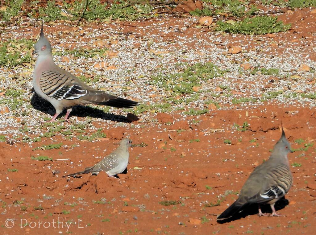 Crested Pigeon and Diamond Dove, Kunoth Bore, NT