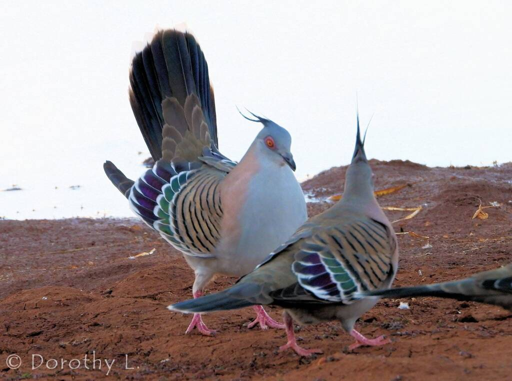 Crested Pigeons (Ocyphaps lophotes)