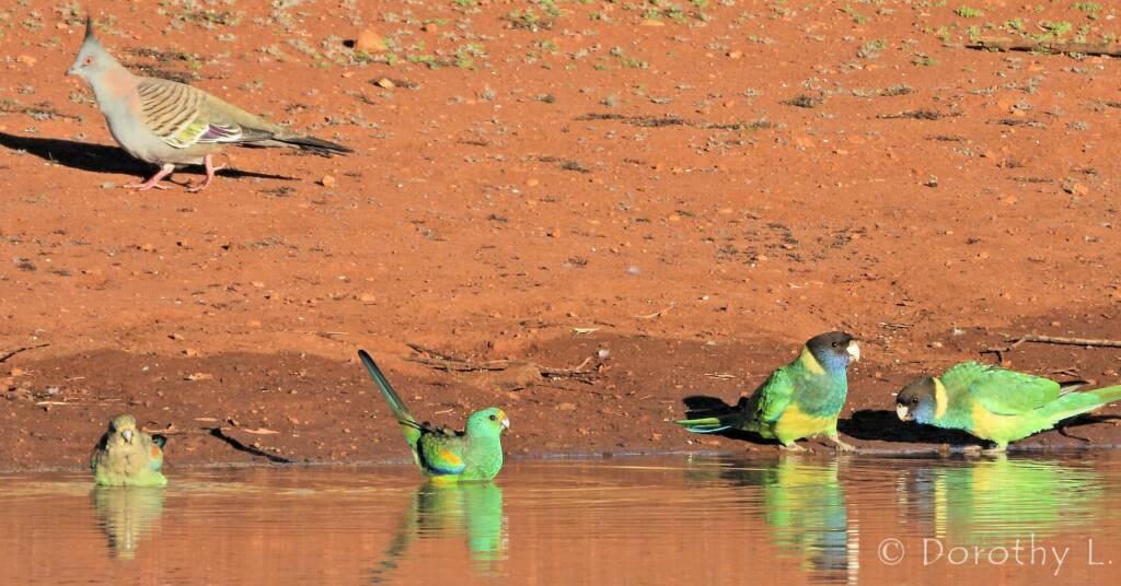 Crested Pigeon, Mulga Parrots and Australian Ringnecks, Kunoth Bore, NT