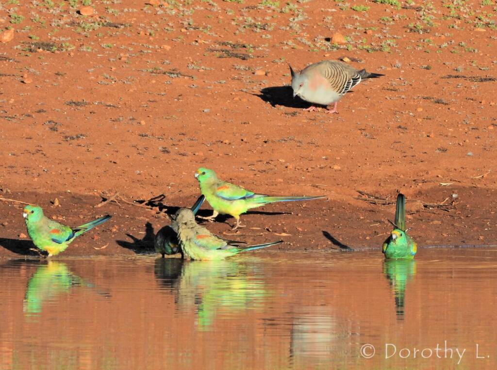 Crested Pigeon and Mulga Parrots, Kunoth Bore, NT
