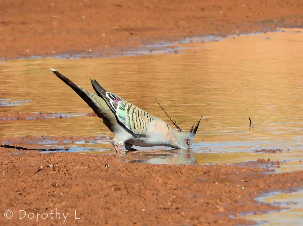 Crested Pigeon (Ocyphaps lophotes), Santa Teresa, NT