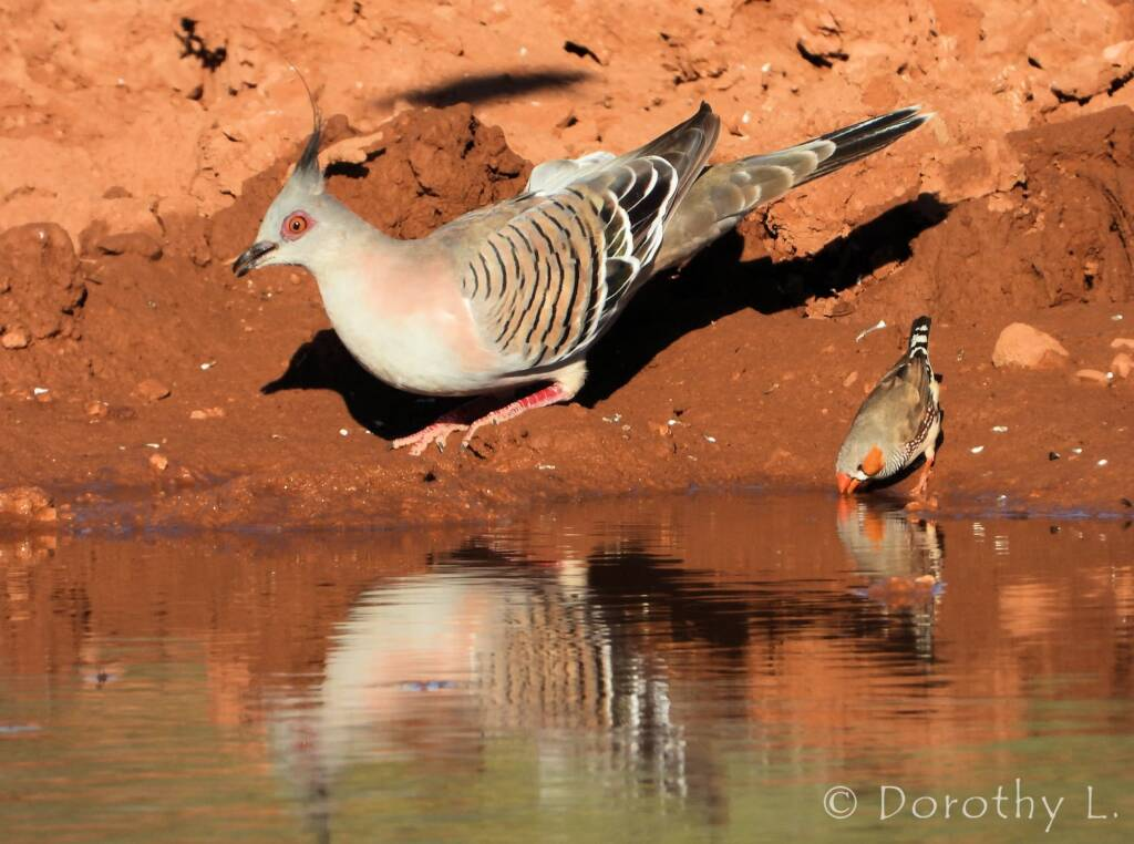 Crested Pigeon (Ocyphaps lophotes) and Zebra Finch (Taeniopygia guttata)