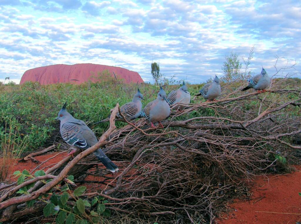 Crested Pigeons (Ocyphaps lophotes) at Uluru