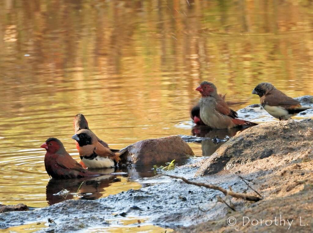 Crimson Finch, Chestnut-breasted Mannikin