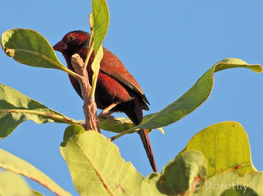 Crimson Finch (Neochmia phaeton)