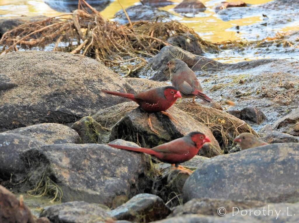 Crimson Finches (Neochmia phaeton)