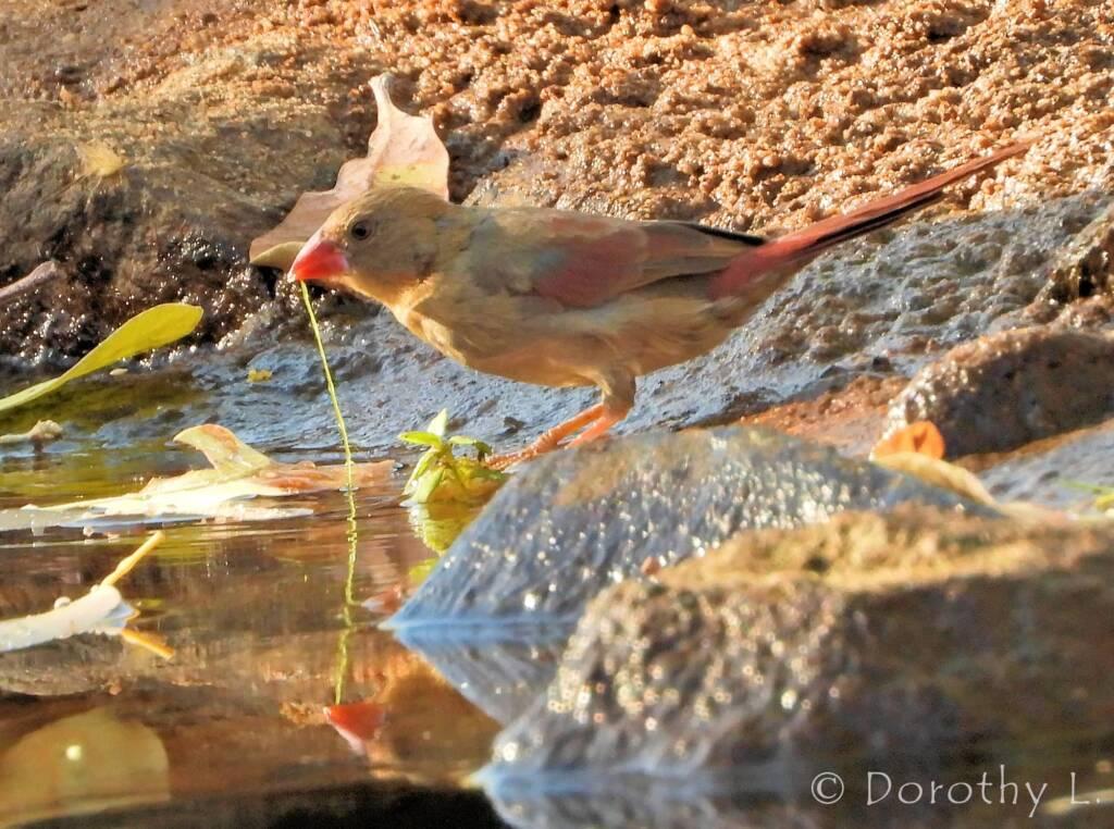 Immature Crimson Finch (Neochmia phaeton)