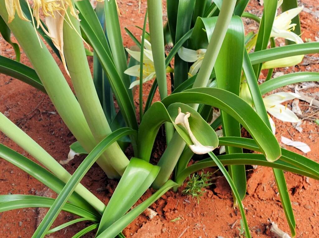 Sandover Lily (Crinum flaccidum), Alice Springs Desert Park
