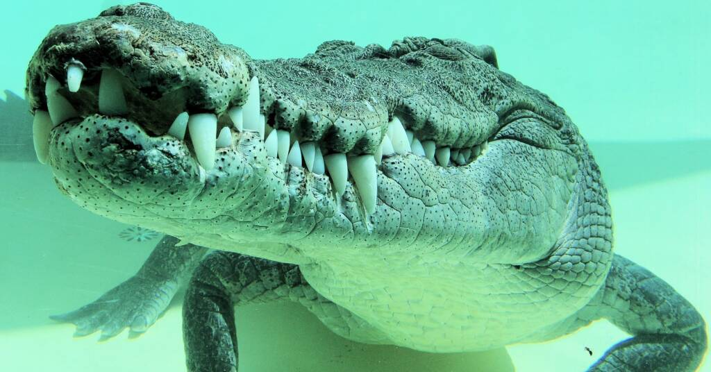 Terry the Saltwater Crocodile